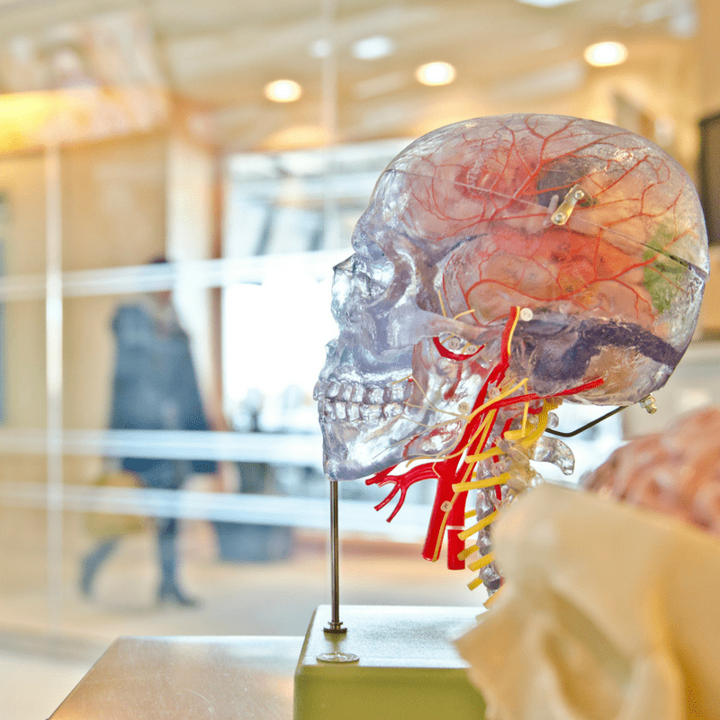 Medical model of a human brain