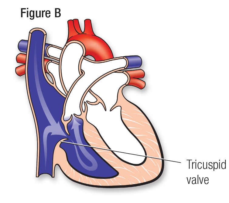 Normal heart figure B