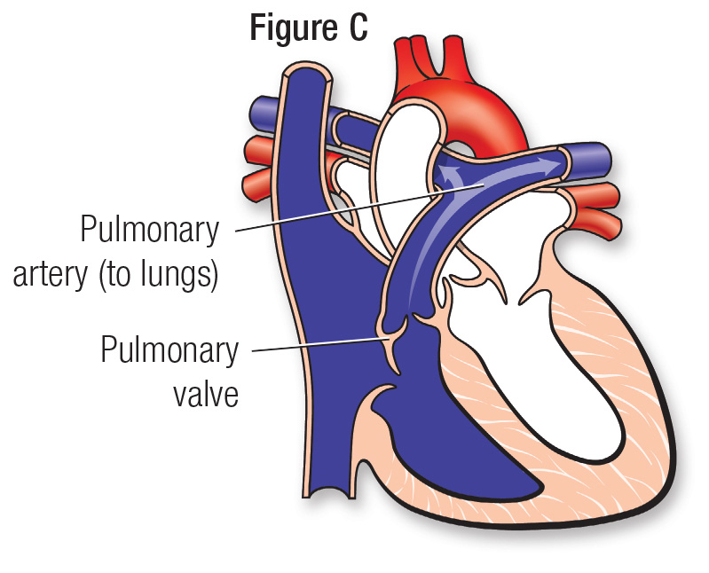 Normal heart figure C