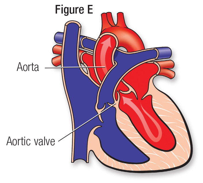 Normal heart figure E