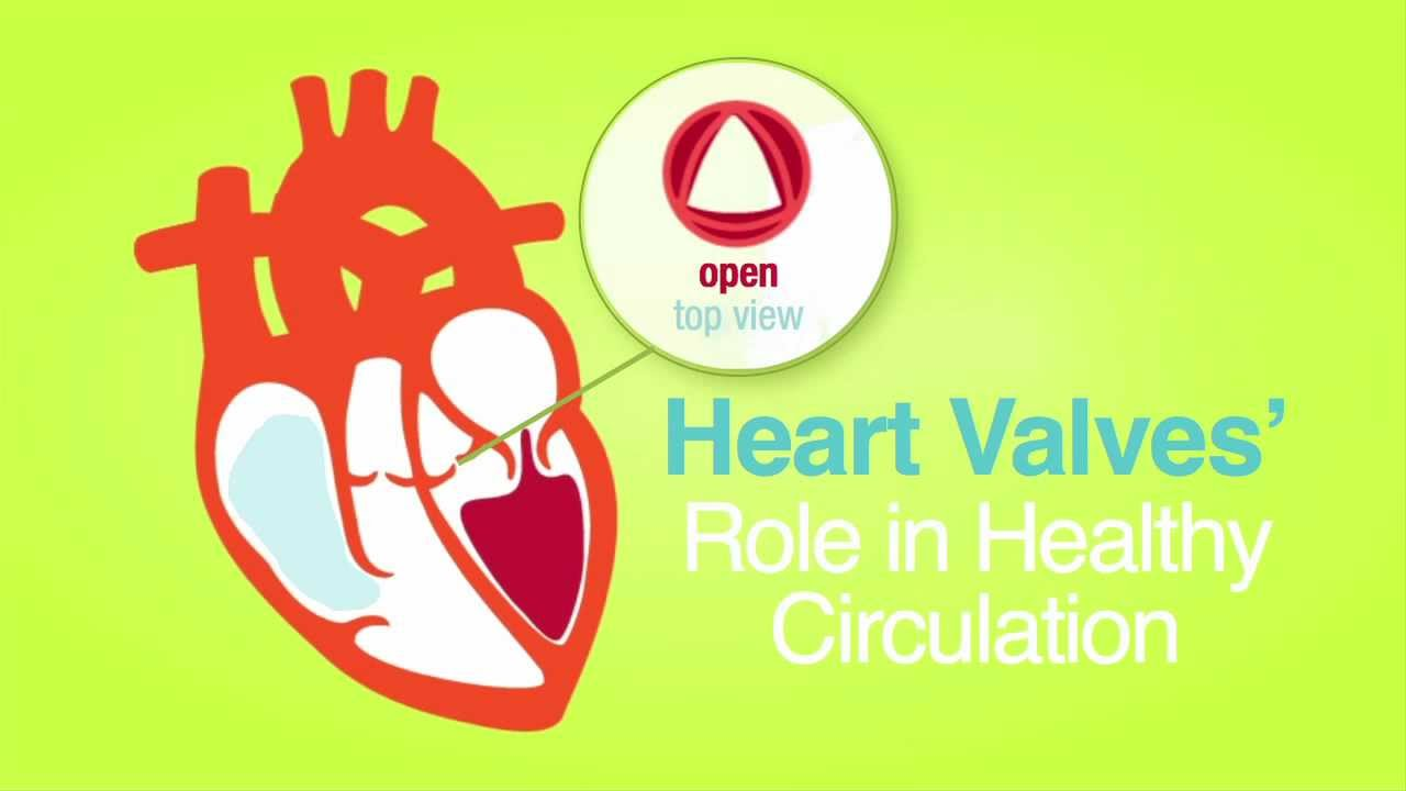 roles of your four heart valves | american heart association
